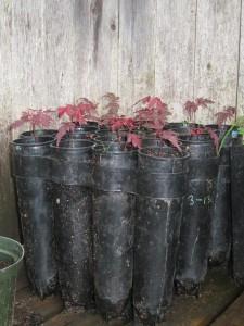 Japanese Maples started from volunteer seedlings in 2015