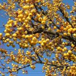 harvest-gold-crabapple