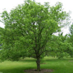 hackberry_4_small